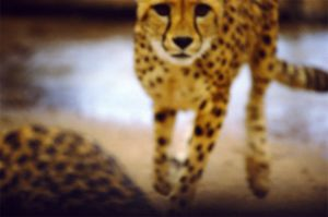 3_01. Cheetah - slightly out of focus retouched copy.jpg